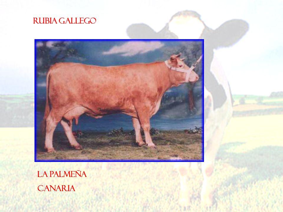 Rubia gallego La Palmeña Canaria