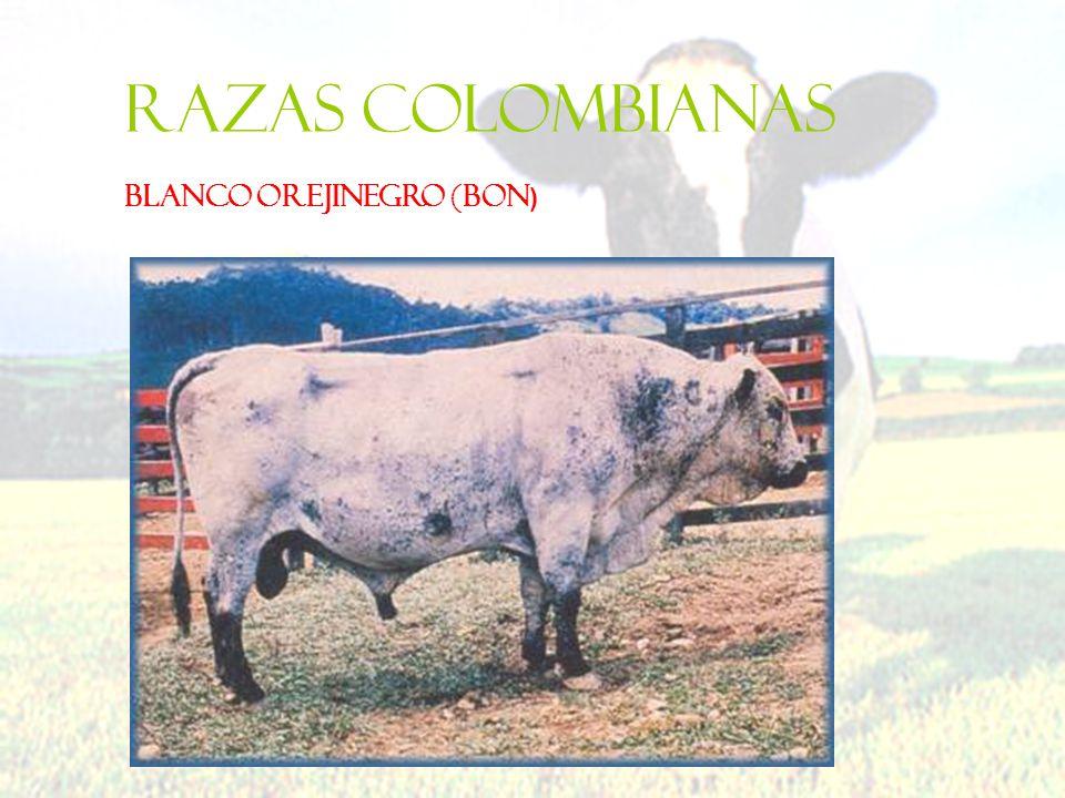 Razas colombianas BLANCO OREJINEGRO (BON)