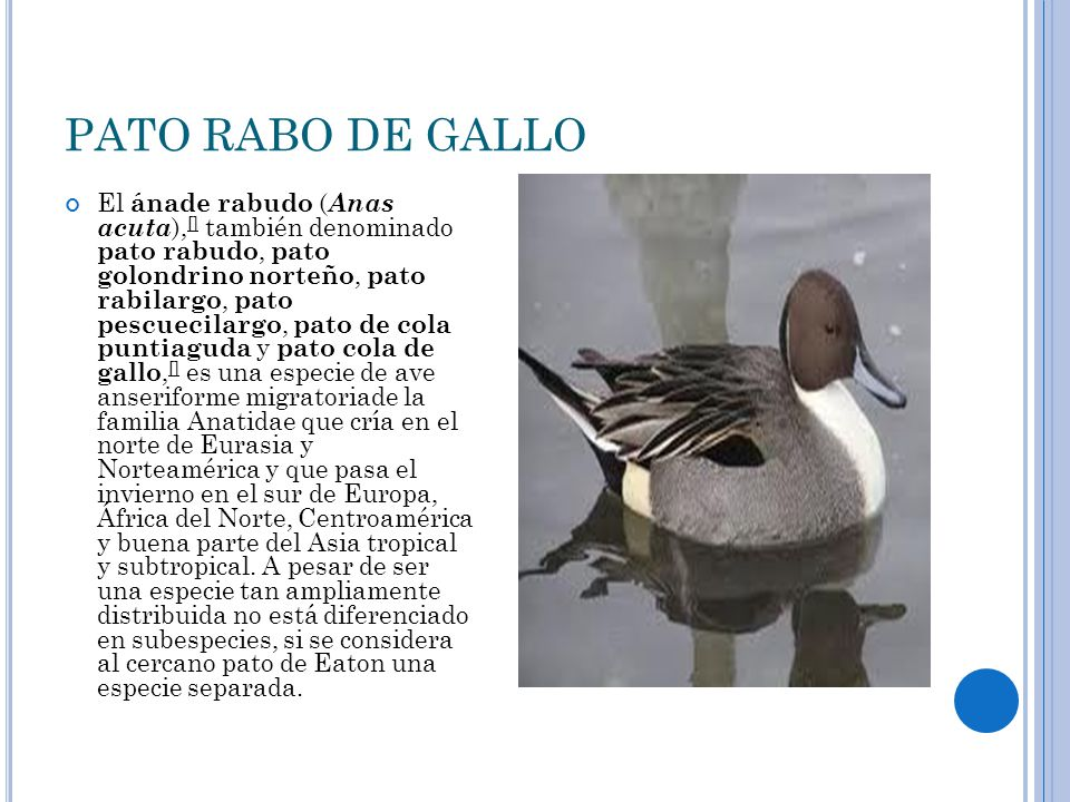 PATO RABO DE GALLO