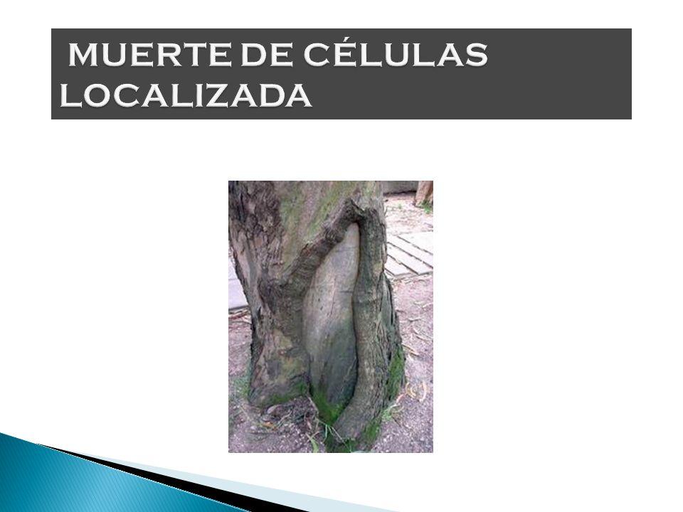 MUERTE DE CÉLULAS LOCALIZADA