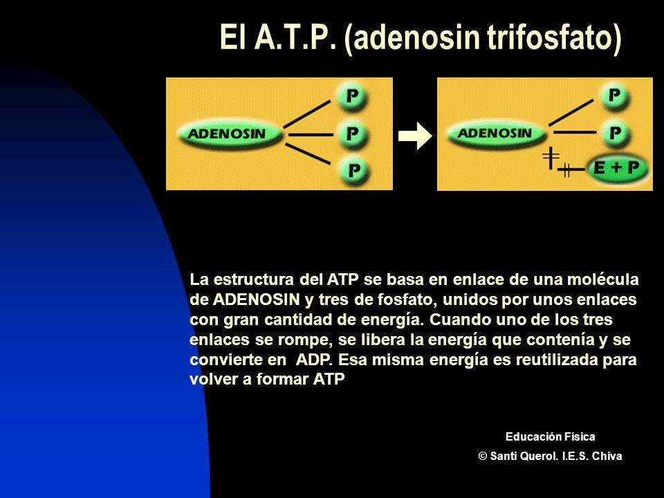 El A.T.P. (adenosin trifosfato)