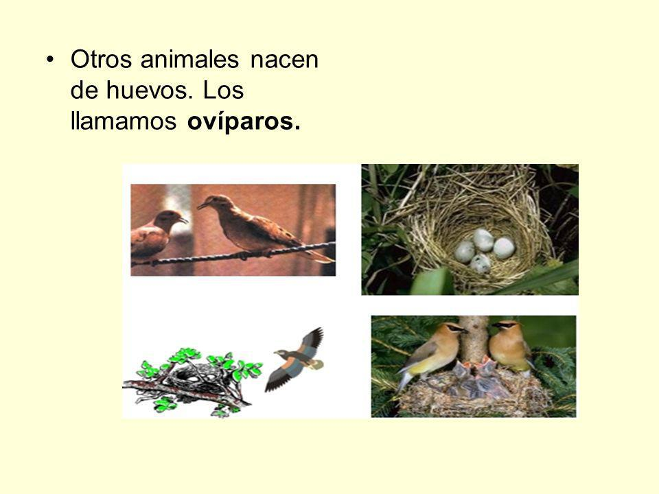Otros animales nacen de huevos. Los llamamos ovíparos.