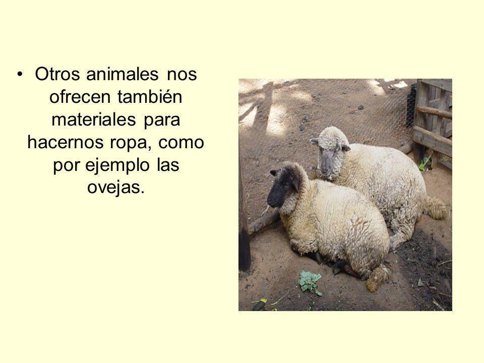 Otros animales nos ofrecen también materiales para hacernos ropa, como por ejemplo las ovejas.