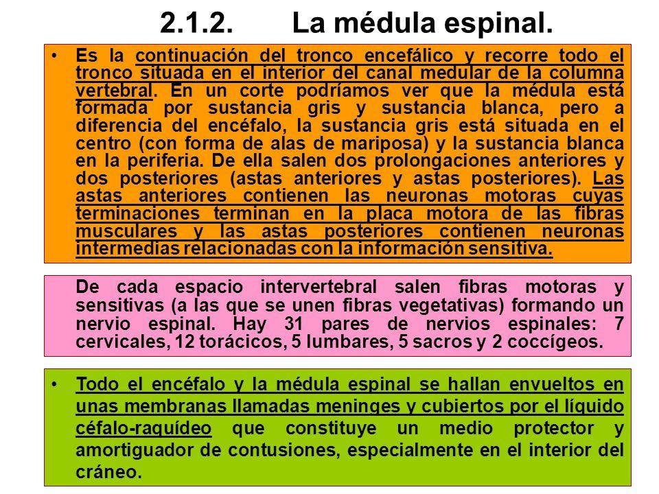 2.1.2. La médula espinal.