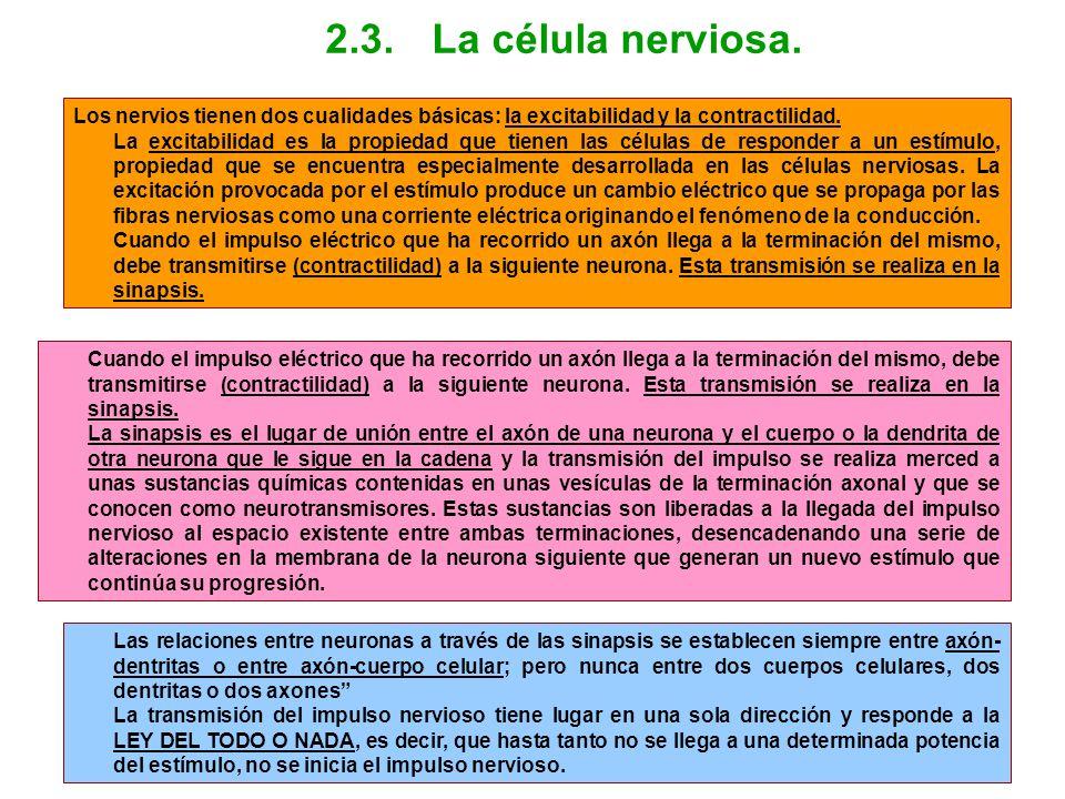 2.3. La célula nerviosa. Los nervios tienen dos cualidades básicas: la excitabilidad y la contractilidad.