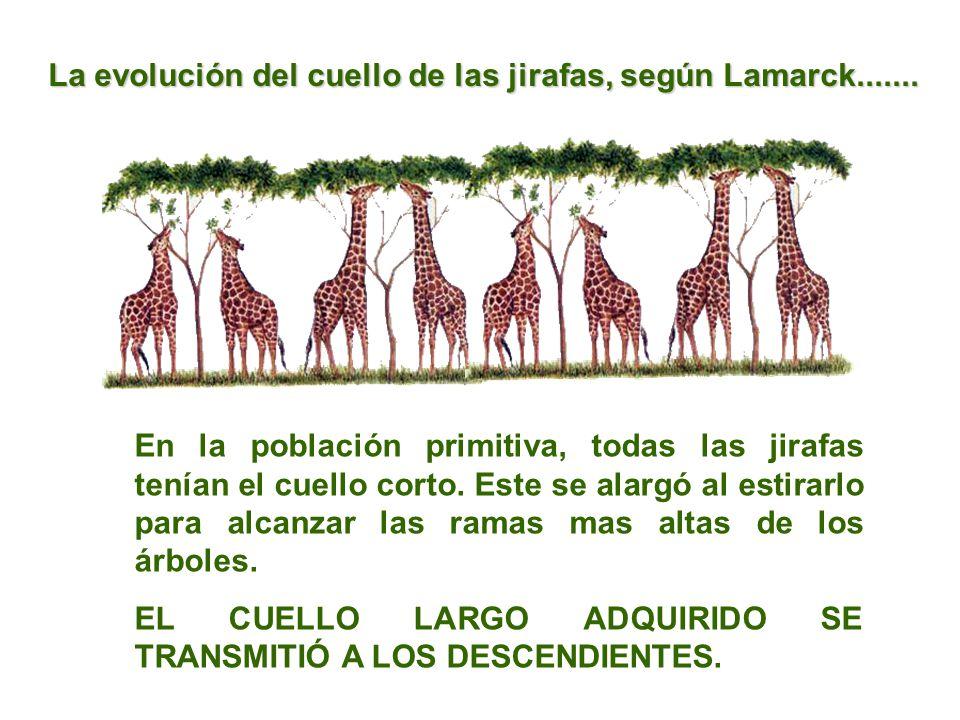 La evolución del cuello de las jirafas, según Lamarck.......