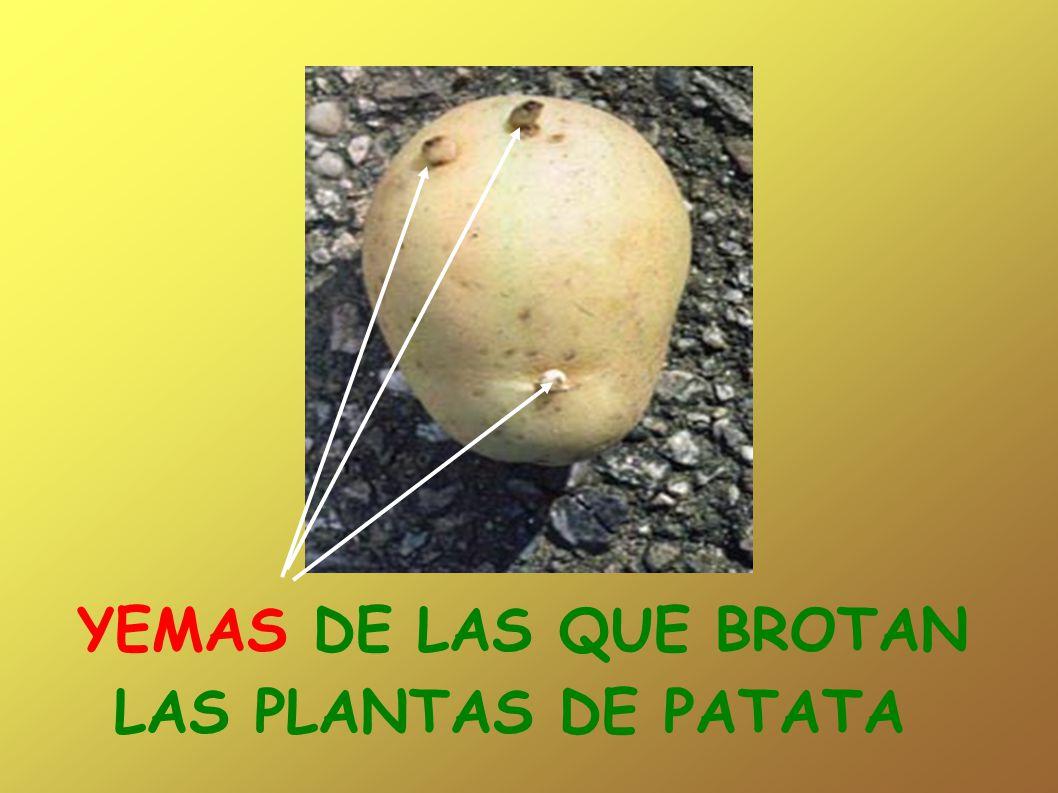 YEMAS DE LAS QUE BROTAN LAS PLANTAS DE PATATA