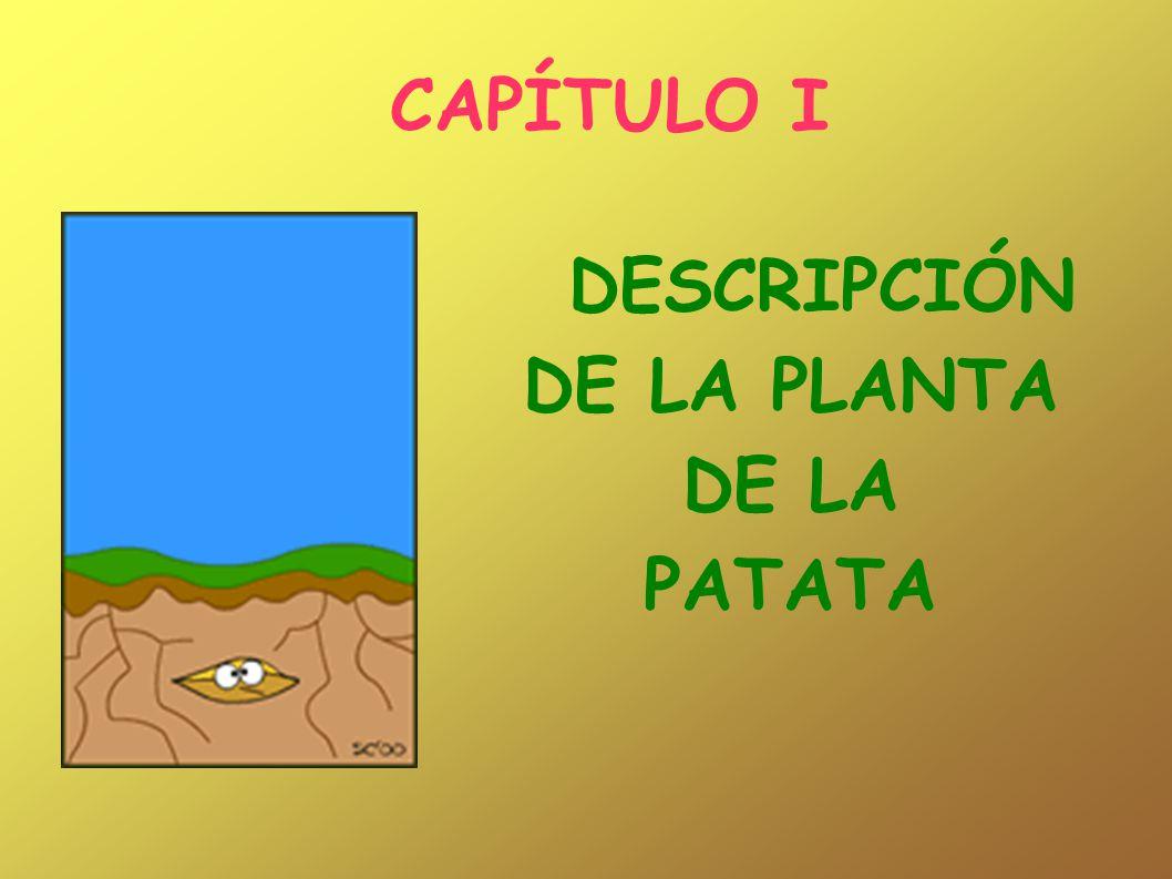 DESCRIPCIÓN DE LA PLANTA DE LA PATATA