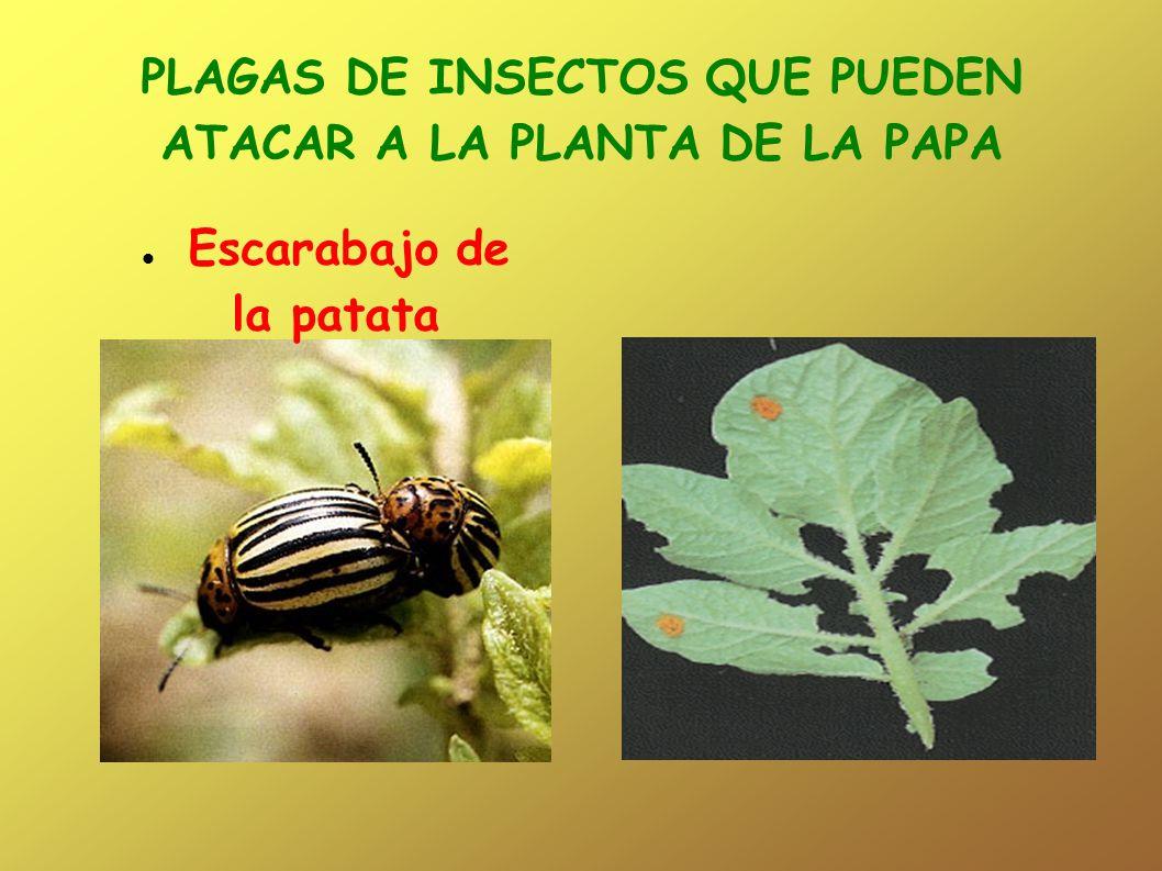 PLAGAS DE INSECTOS QUE PUEDEN ATACAR A LA PLANTA DE LA PAPA