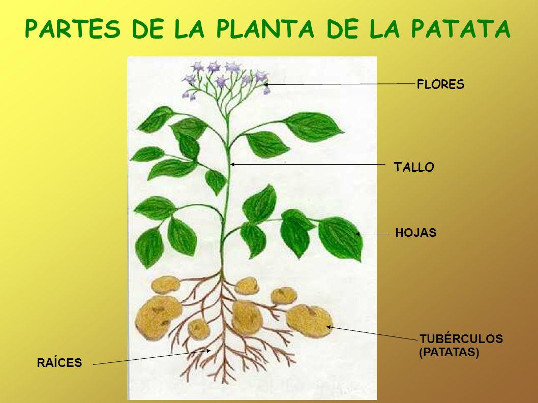 PARTES DE LA PLANTA DE LA PATATA