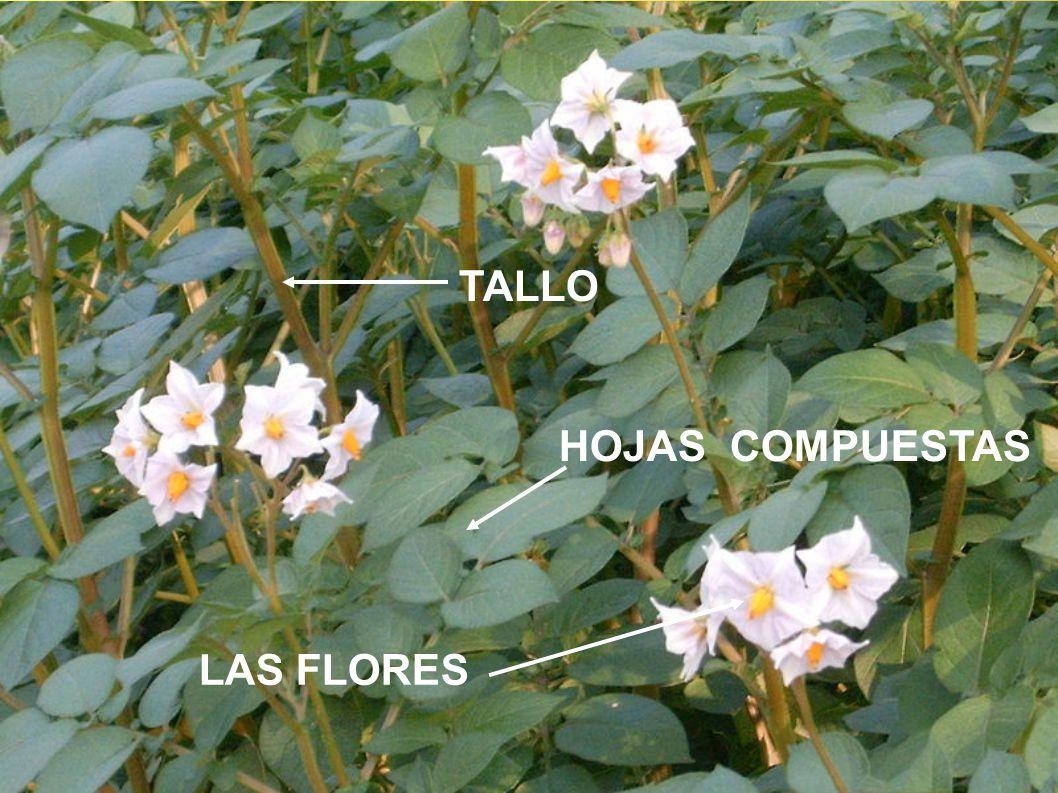TALLO HOJAS COMPUESTAS LAS FLORES