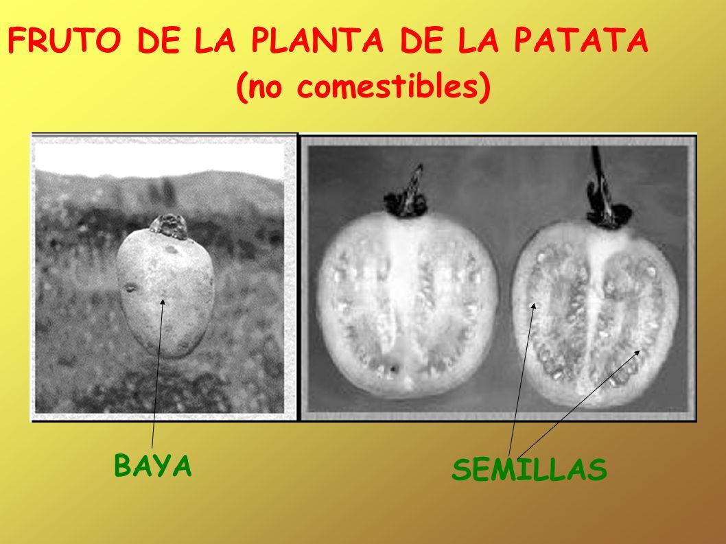 FRUTO DE LA PLANTA DE LA PATATA (no comestibles)