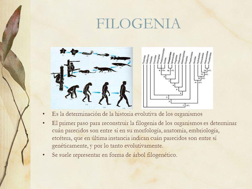 FILOGENIA Es la determinación de la historia evolutiva de los organismos.