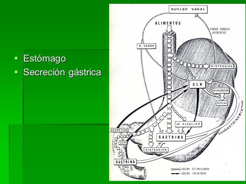 Estómago Secreción gástrica