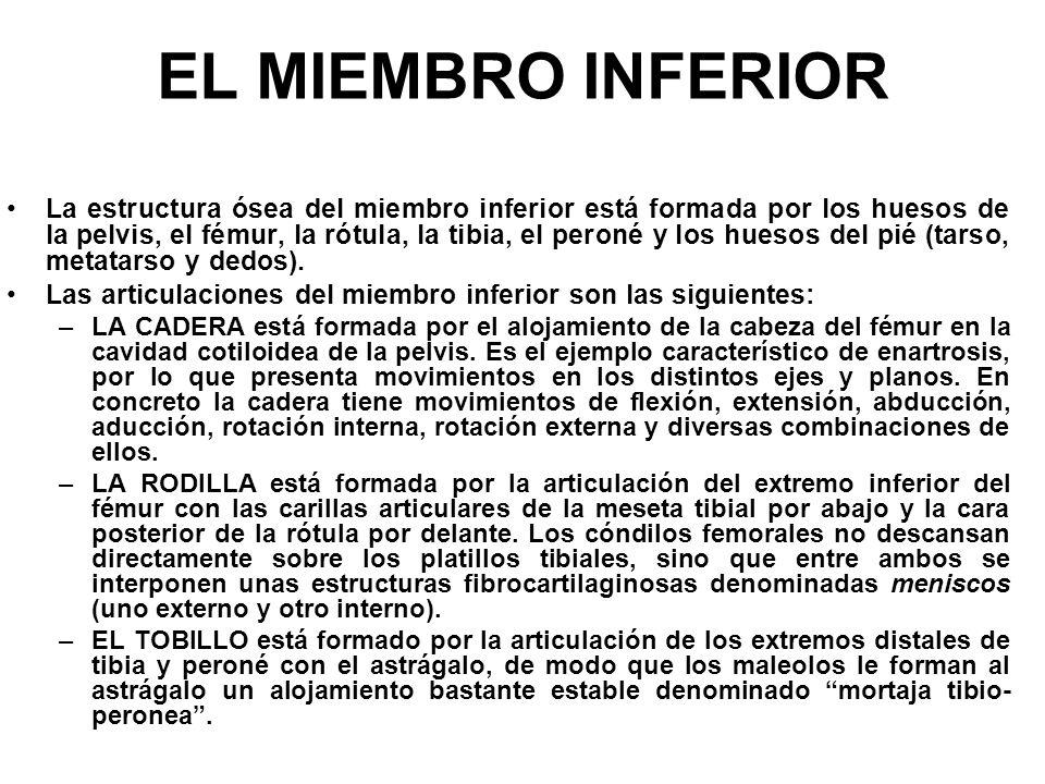 EL MIEMBRO INFERIOR