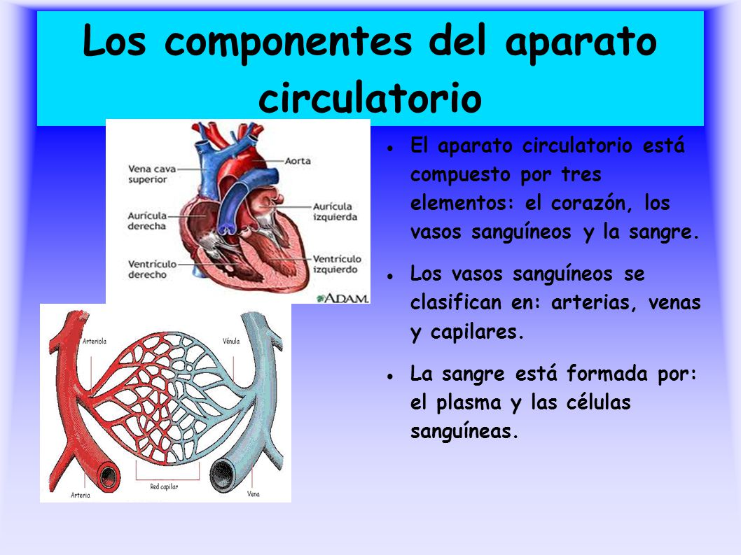 Los componentes del aparato circulatorio