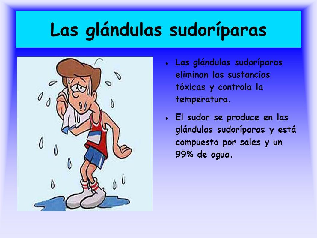 Excepcional Anatomía De Las Glándulas Sudoríparas Colección de ...