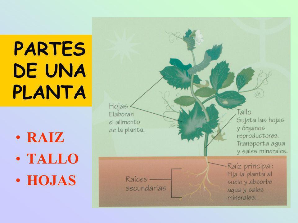 PARTES DE UNA PLANTA RAIZ TALLO HOJAS