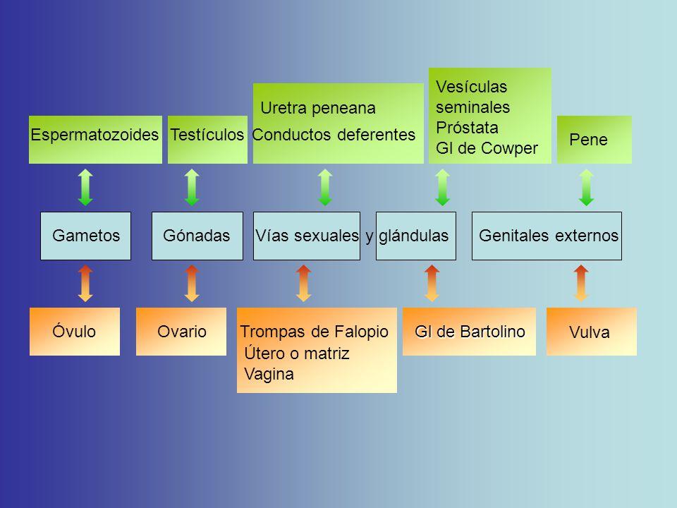 Vesículas seminales Próstata. Gl de Cowper. Uretra peneana. Espermatozoides Testículos Conductos deferentes.