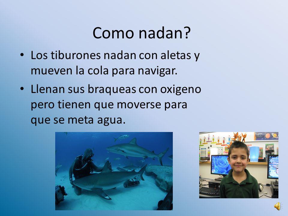 Como nadan Los tiburones nadan con aletas y mueven la cola para navigar.
