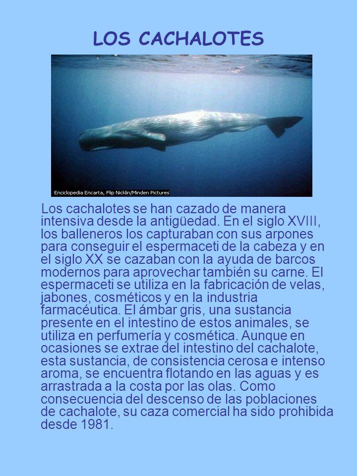 LOS CACHALOTES