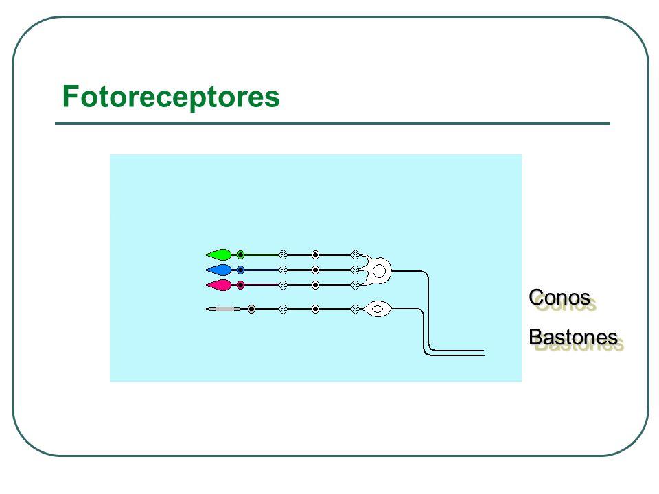 Fotoreceptores Conos Bastones