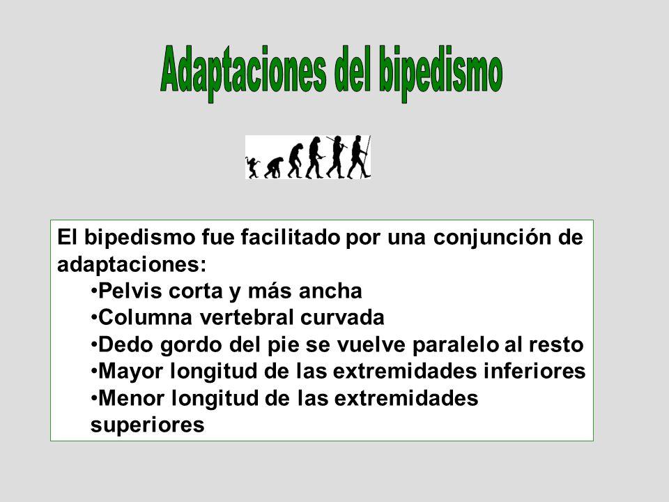 Adaptaciones del bipedismo