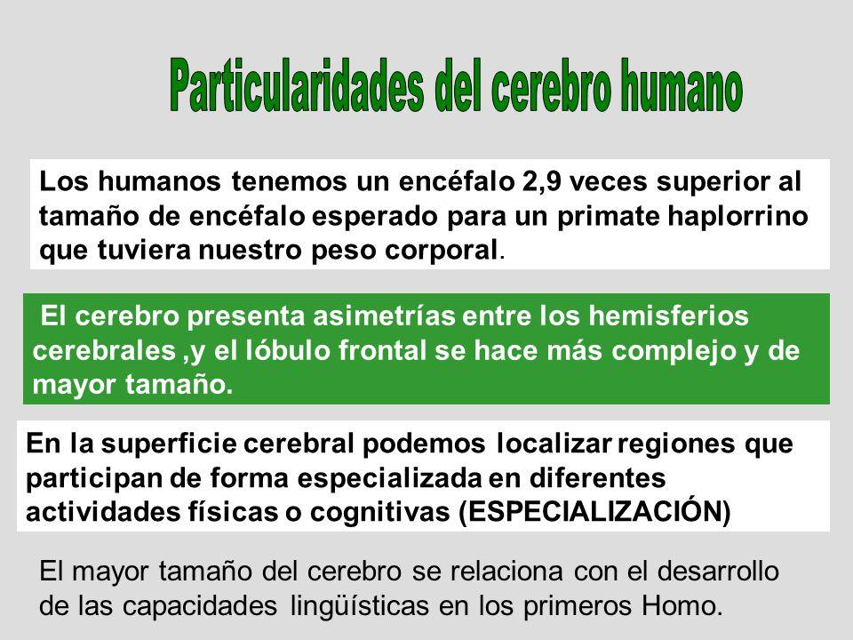 Particularidades del cerebro humano