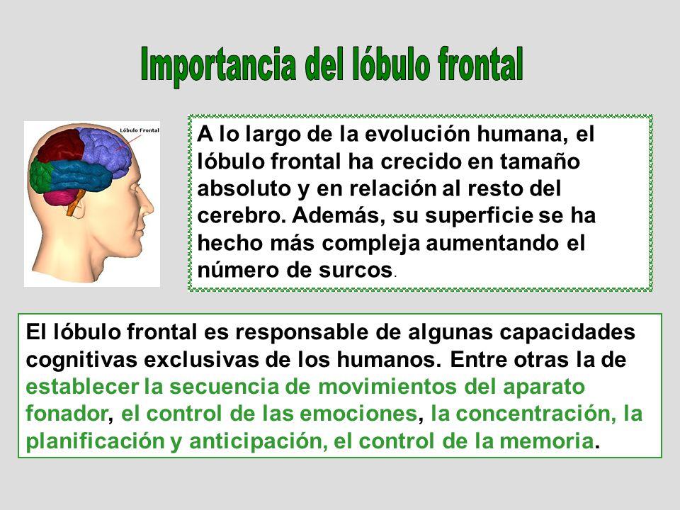Importancia del lóbulo frontal