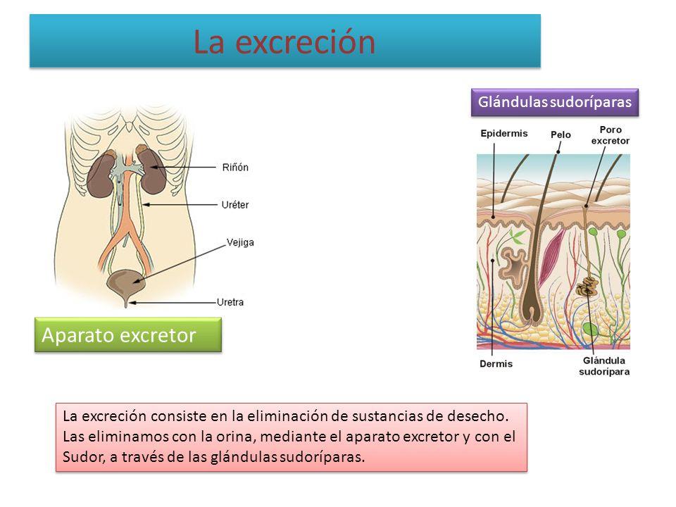 La excreción Aparato excretor Glándulas sudoríparas