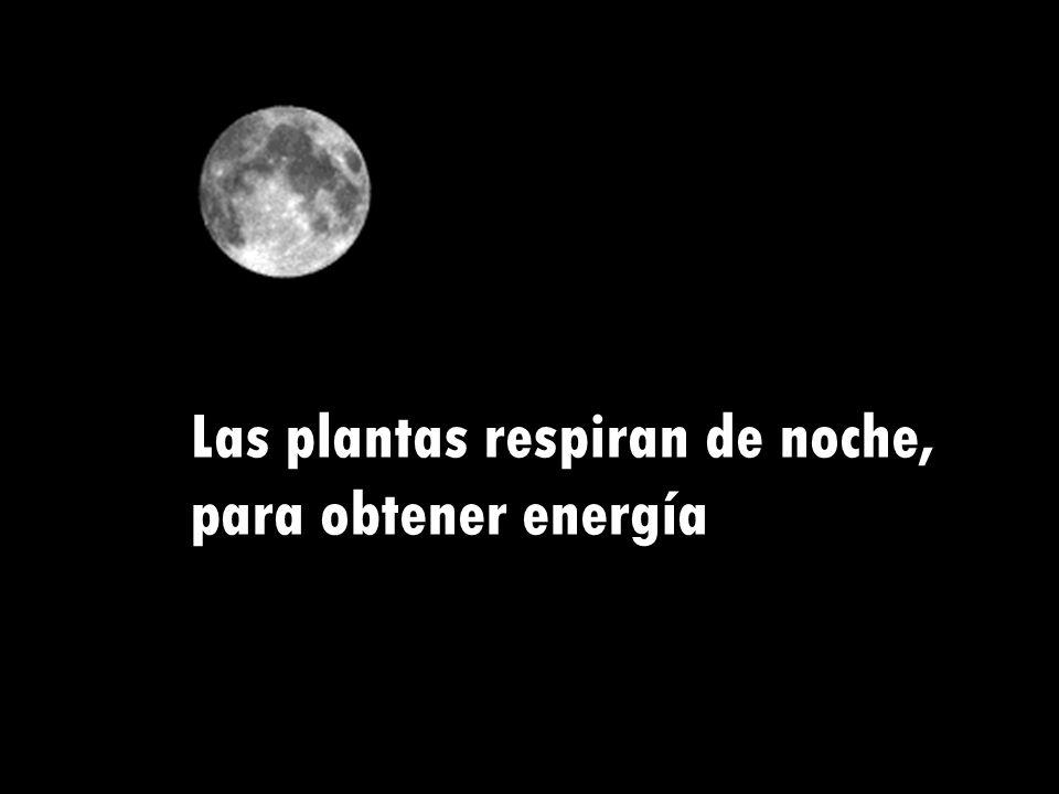 Las plantas respiran de noche, para obtener energía