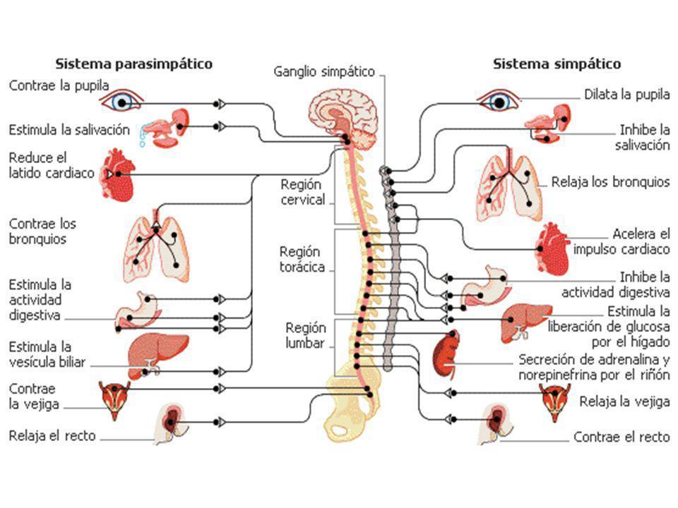 SNPS estimula la erección y el SNS estimula la eyaculación