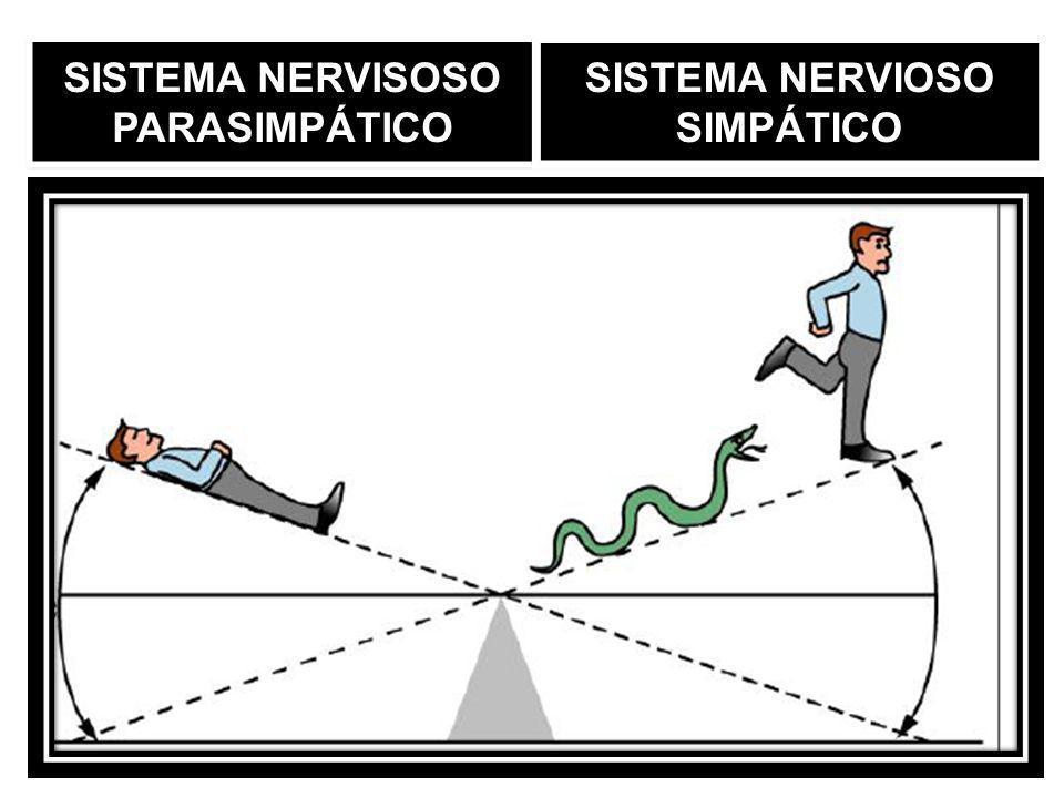 SISTEMA NERVISOSO PARASIMPÁTICO SISTEMA NERVIOSO SIMPÁTICO