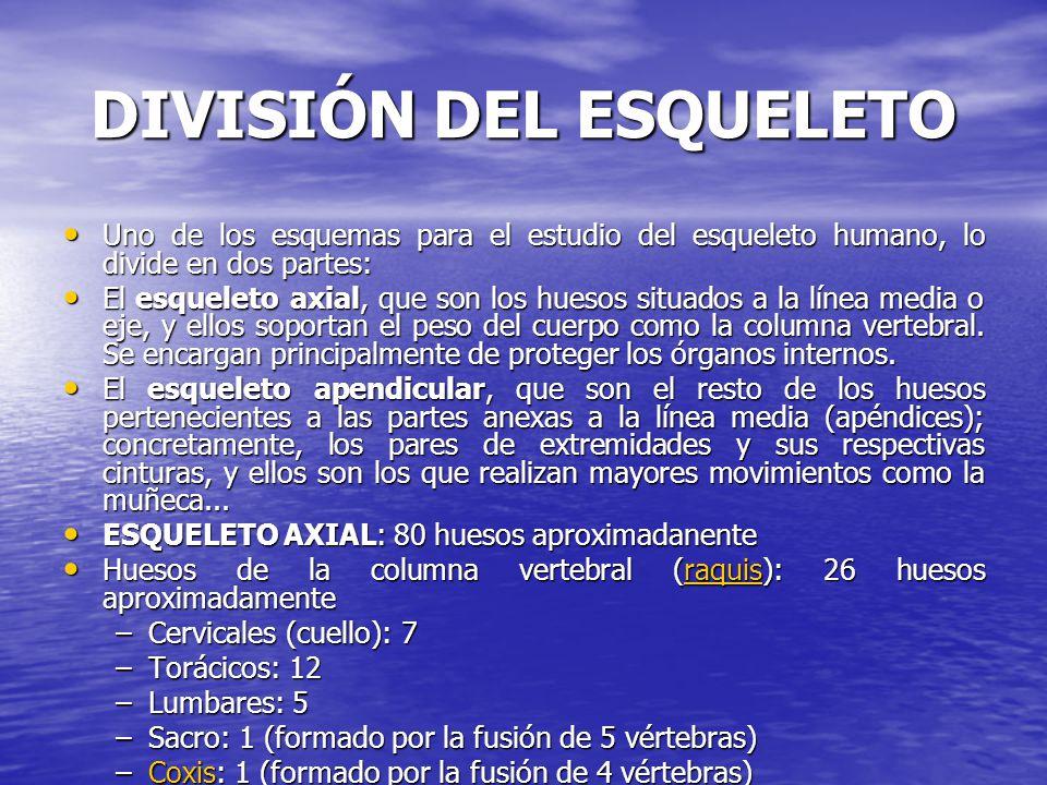 DIVISIÓN DEL ESQUELETO