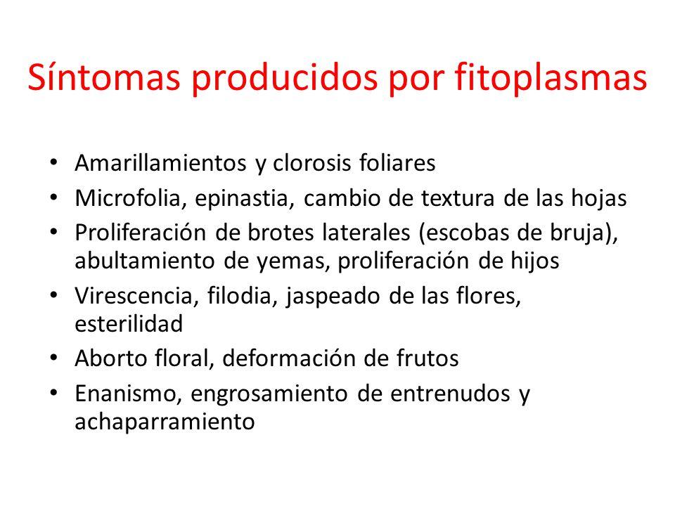 Síntomas producidos por fitoplasmas
