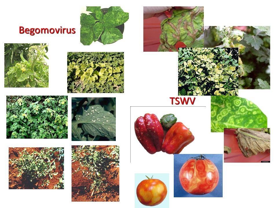 Begomovirus TSWV