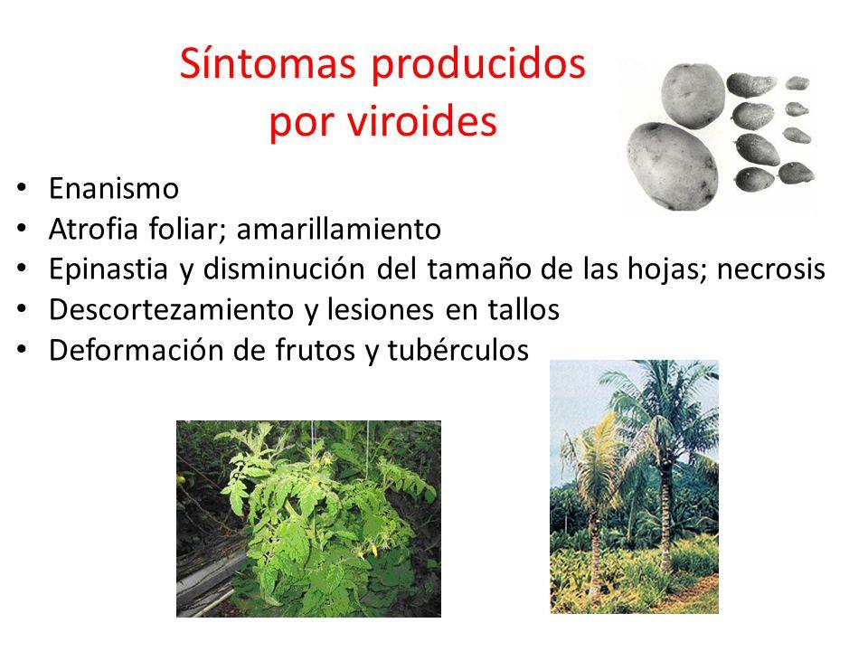 Síntomas producidos por viroides