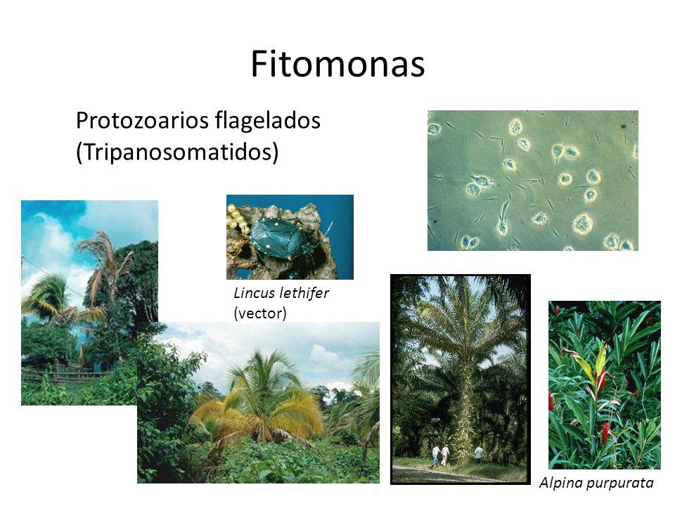 Fitomonas Protozoarios flagelados (Tripanosomatidos)