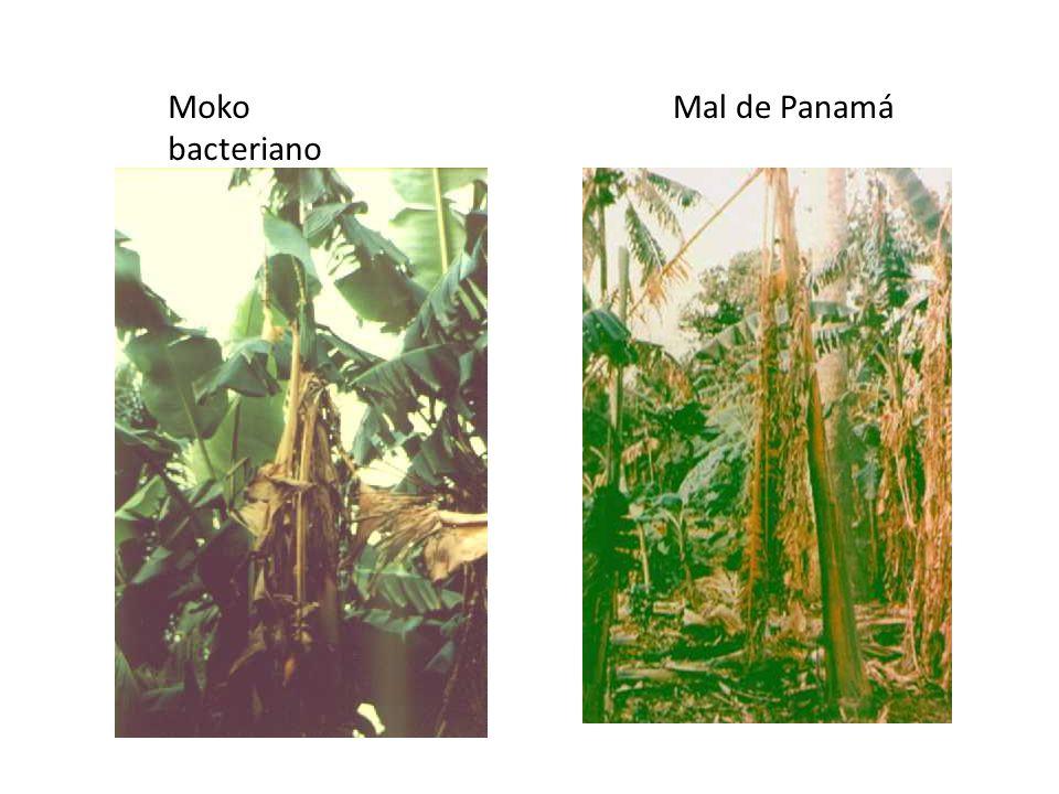 Moko bacteriano Mal de Panamá