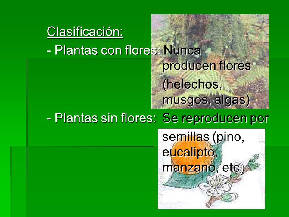 Clasificación: - Plantas con flores: Nunca producen flores. (helechos, musgos, algas)