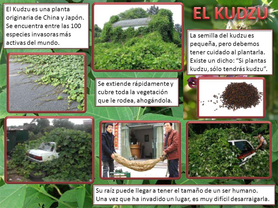 EL KUDZU El Kudzu es una planta originaria de China y Japón. Se encuentra entre las 100 especies invasoras más activas del mundo.