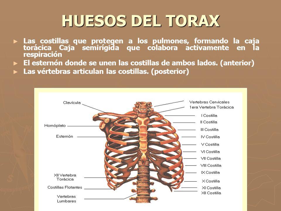 HUESOS DEL TORAX Las costillas que protegen a los pulmones, formando la caja torácica Caja semirígida que colabora activamente en la respiración.