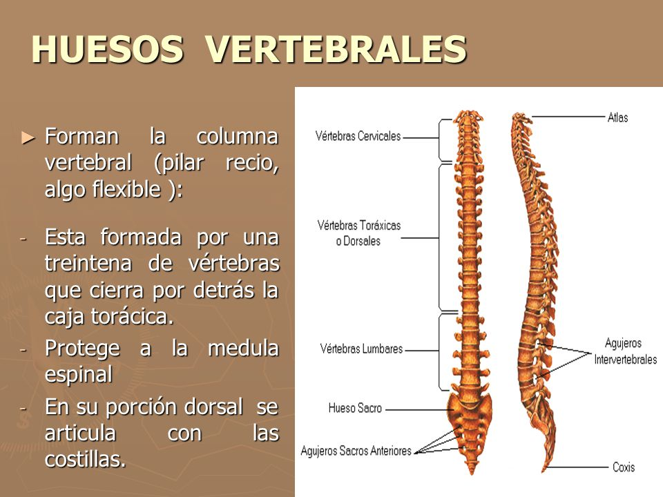 HUESOS VERTEBRALES Forman la columna vertebral (pilar recio, algo flexible ):