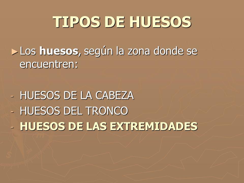 TIPOS DE HUESOS Los huesos, según la zona donde se encuentren:
