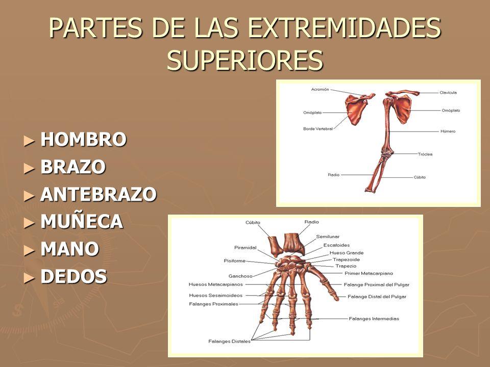 PARTES DE LAS EXTREMIDADES SUPERIORES