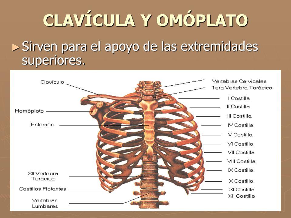 CLAVÍCULA Y OMÓPLATO Sirven para el apoyo de las extremidades superiores.