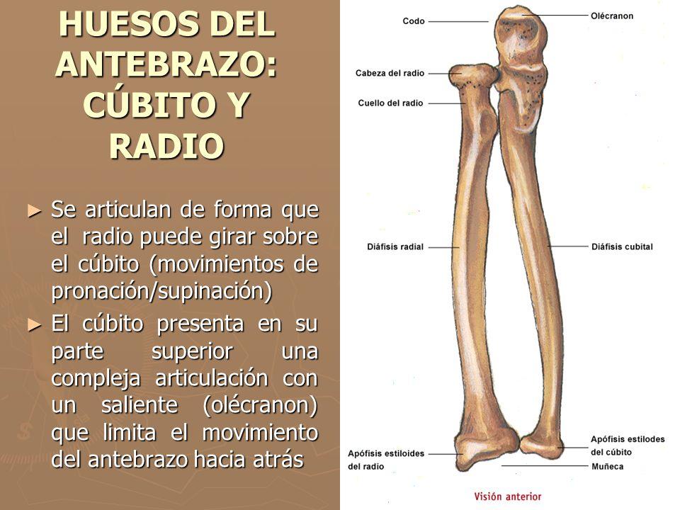 HUESOS DEL ANTEBRAZO: CÚBITO Y RADIO