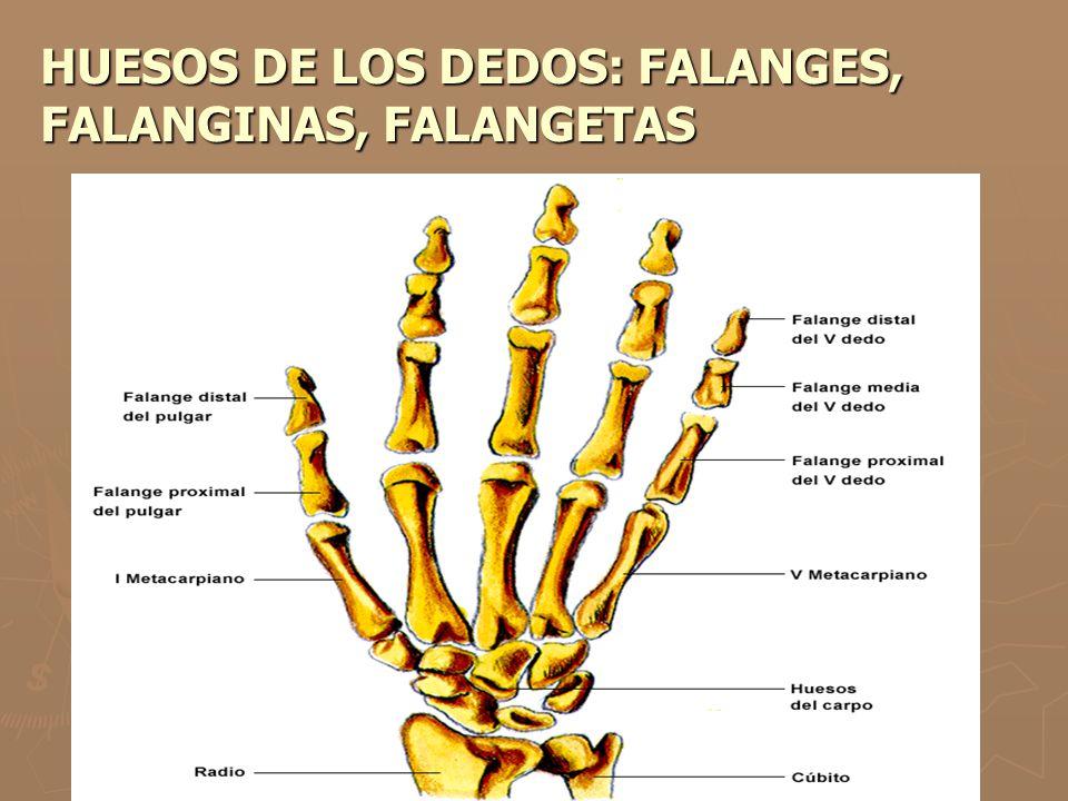 HUESOS DE LOS DEDOS: FALANGES, FALANGINAS, FALANGETAS