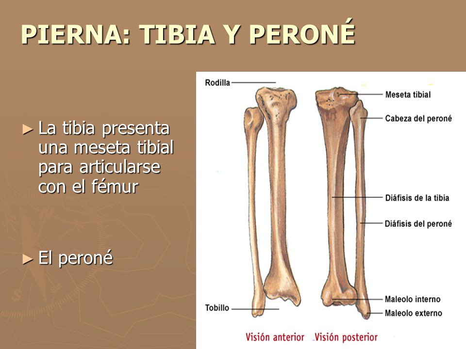 PIERNA: TIBIA Y PERONÉ La tibia presenta una meseta tibial para articularse con el fémur El peroné