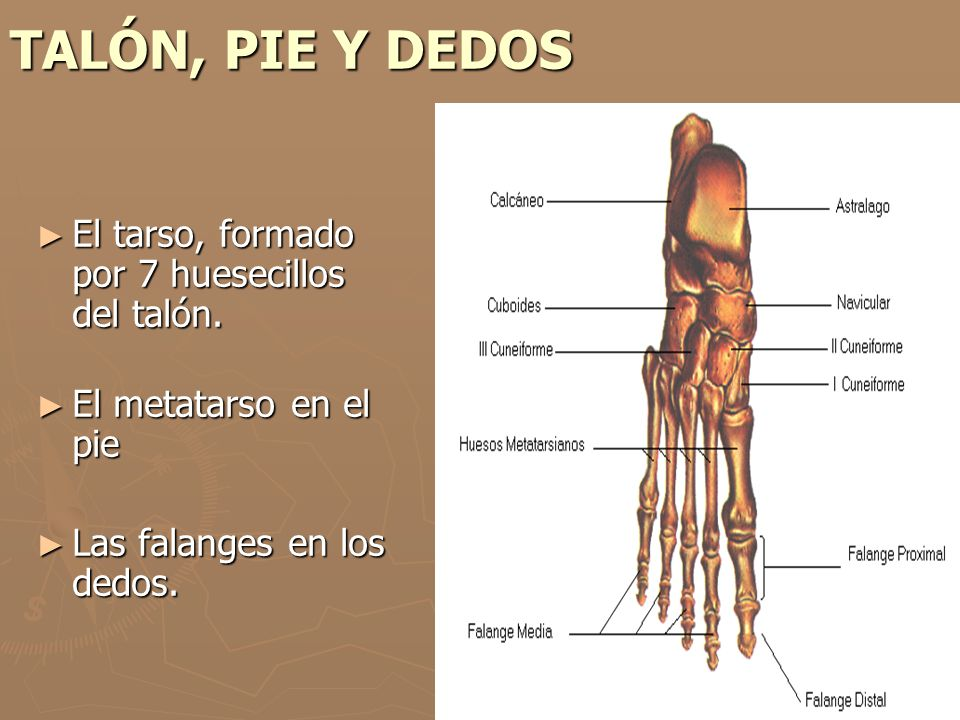 TALÓN, PIE Y DEDOS El tarso, formado por 7 huesecillos del talón.